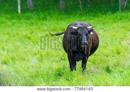 Black Cow In A Green Pasture On Cattle Farm