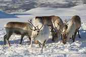 image of tromso  - Reindeers in natural environment - JPG