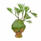 stock photo of epiphyte  - Staghorn Fern On Clay Pot Isolated On White Background - JPG