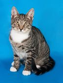 image of blue tabby  - Tabby kitten with white spots sitting on blue background - JPG