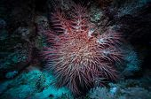 foto of echinoderms  - Poisonous crown of thorns sea star  - JPG