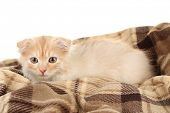 foto of scottish-fold  - Cute little Scottish fold kitten on plaid - JPG