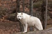 image of arctic landscape  - Arctic Wolf in a fall landscape in the woods - JPG