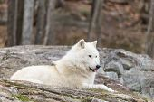 stock photo of arctic landscape  - Arctic Wolf in a fall landscape in the woods - JPG