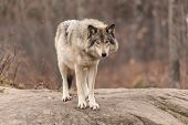 picture of timber  - A timber wolf in a forest environment