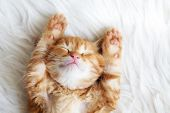 stock photo of petting  - Cute little red kitten sleeps on fur white blanket - JPG