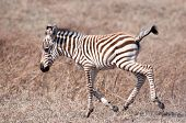 pic of sub-saharan  - Little Zebra foal running very clumsily through the grassland inside the Ngorongoro Crater of Tanzania. ** Note: Soft Focus at 100%, best at smaller sizes - JPG