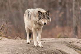 stock photo of horrific  - A timber wolf in a forest environment  - JPG