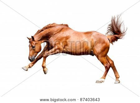 Galloping Chestnut Horse, Isolated On White Background