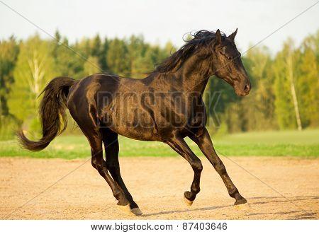 Black Stallion In Sunset