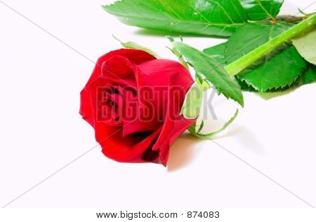 Red Vibrant Rose