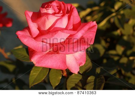 warm pink rose in the morning