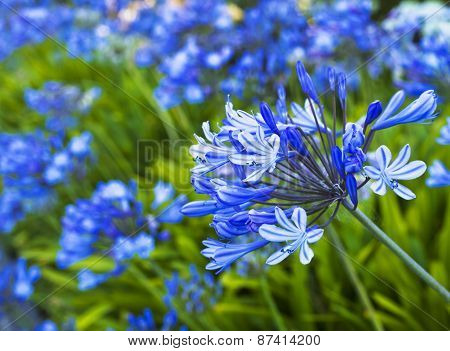 African Lily, Blue flowers with sunshine. Floral background with