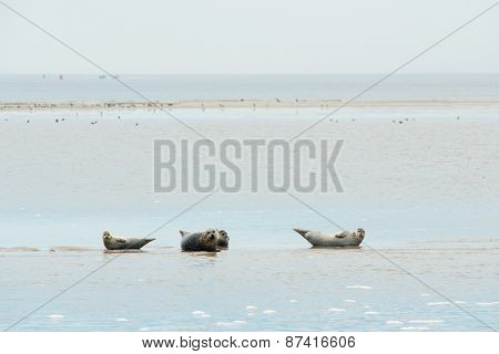 Seal resting on sand bank in wadden sea