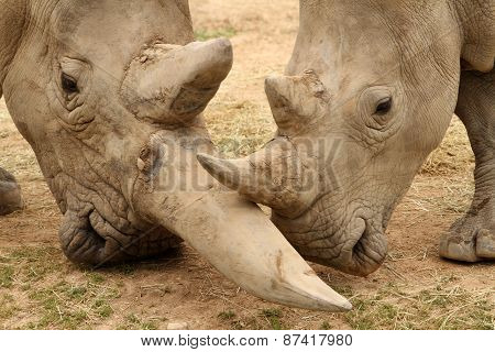 White Rhinoceros Battle 7