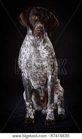 german shorthaired pointer sitting on black background