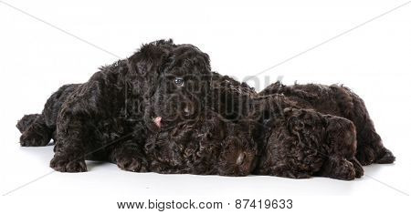 litter of puppies - 5 week old barbet puppies on white background