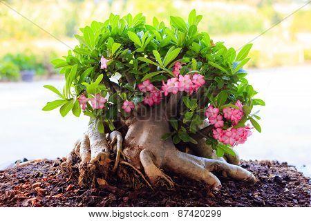 Beautiful Desert Rose Or Ping Bignonia