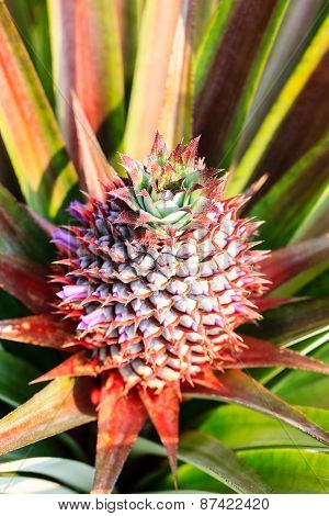A Baby Red Pineapple