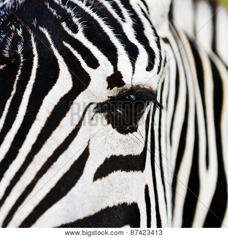 Zebra In Field