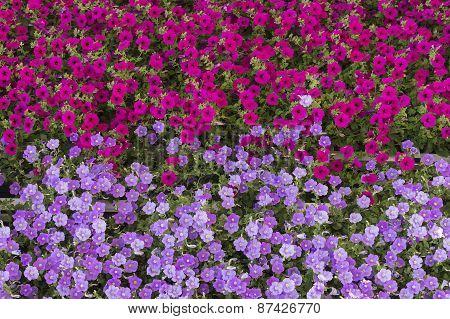 Geraniums flowers carpet