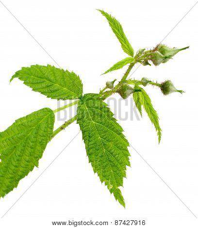 Leaf Of Raspberry On White Background