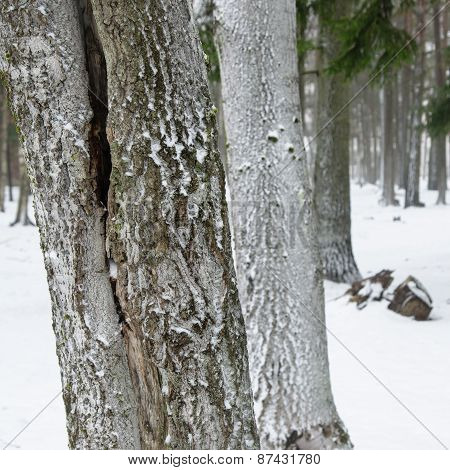 Snow Covered Tree Trunks. Winter Alley