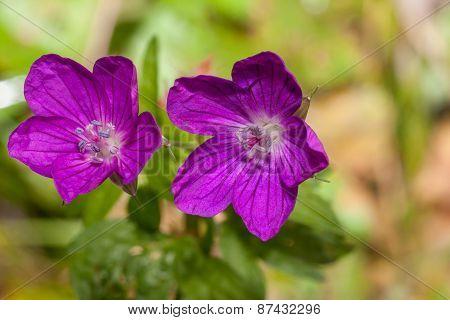Geranium sylvaticum - Woodland geranium