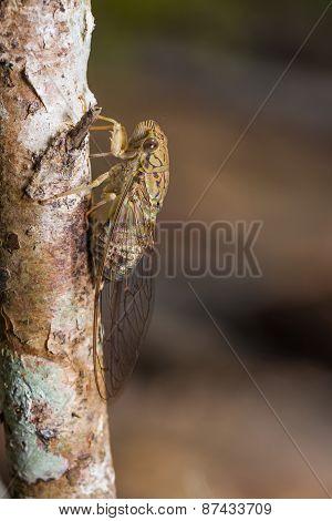 Cicada In Nature