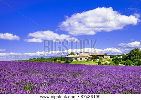 blooming lavander fields in Provence, France