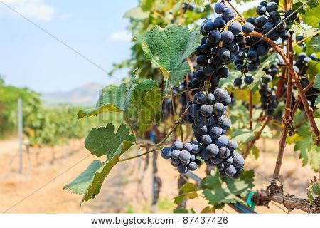 Grape Farm, Ripe Dark Grapes With Leaves.