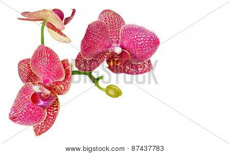 Branch of orchid flowers isolated on white