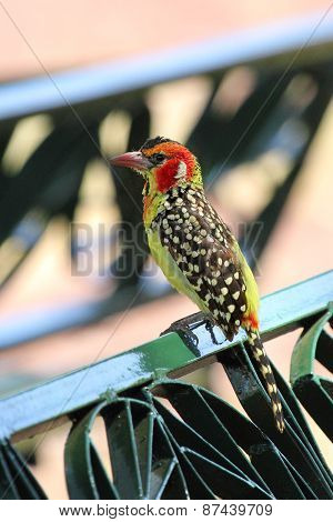 Red And Yellow Barbet On A Park Bench