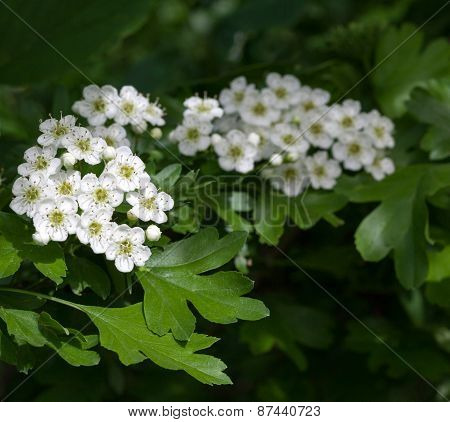 Flowering Hawthorn In Springtime