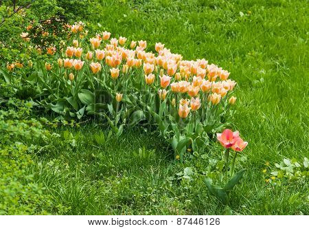 Light Pink Tulips In The Grass