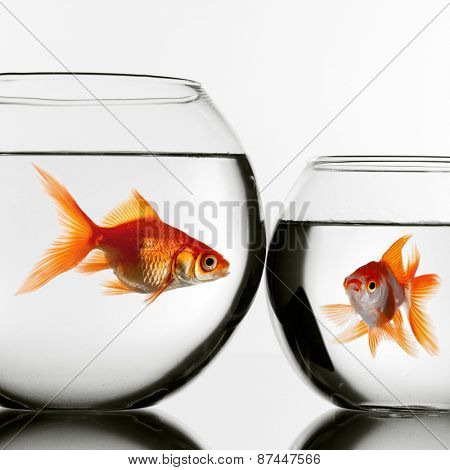 Two gold fish in aquariums looking at each other