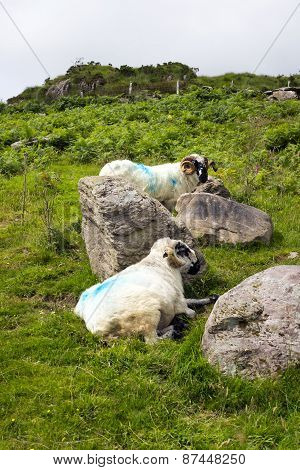Sheep In Rocks