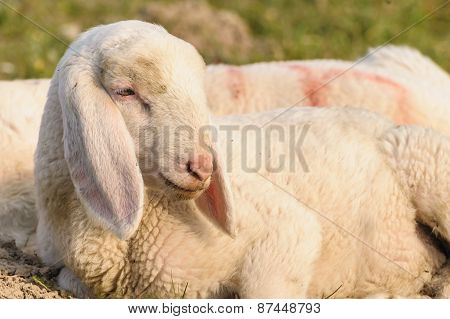 Portrait Of Lamb