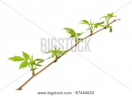 Spring Twig Of Dewberry