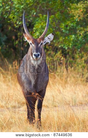 Waterbuck In Nakuru Park