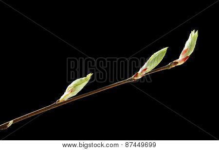 Twig And Buds
