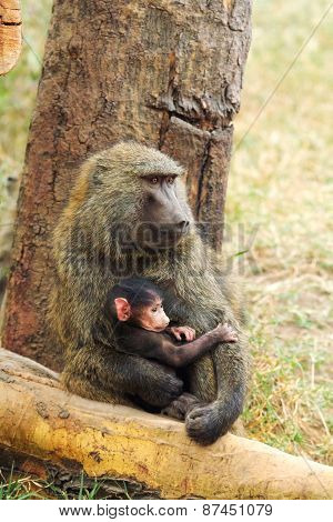Mother And Baby Baboons