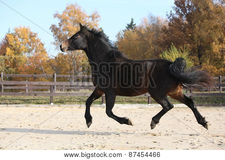 Gorgeous Welsh Part-bred Running In Autumn