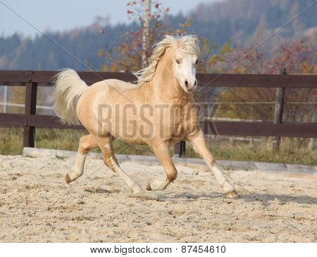 Gorgeous Welsh Mountain Pony Running In Autumn