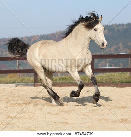 Gorgeous Welsh Cob Running In Autumn