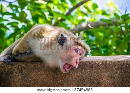 Monkey With Gape In Sigiriya, Sri Lanka