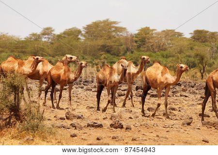 Camels, Amboseli
