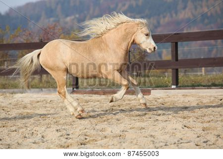 Amazaing Palomino Welsh Mountain Pony Running