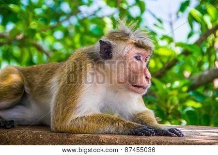 Monkey Is Lying Outdoor In Sigiriya, Sri Lanka