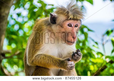Funny Monkey With Topknot In Sigiriya, Sri Lanka